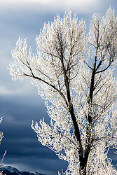 Hoar Frost, cottongwood, Grand Teton National Park