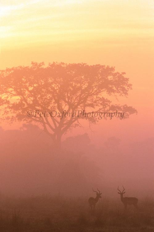 Two male Impala at dawn {Aepyceros melampus} Okavango Delta, Botswana