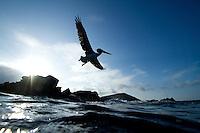 Brown Pelican in the Galapagos Islands, Ecuador.