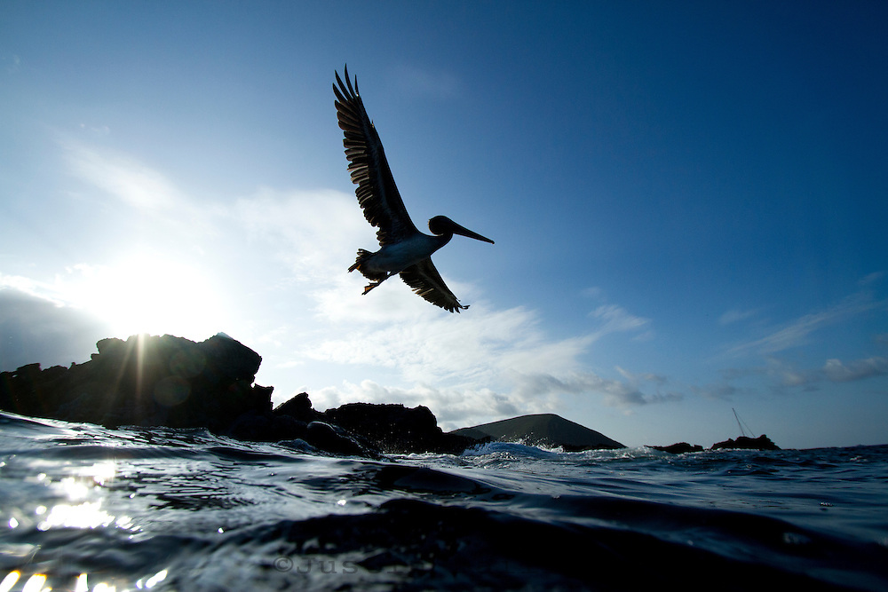 Brown Pelican in the Galapagos Islands, Ecuador.