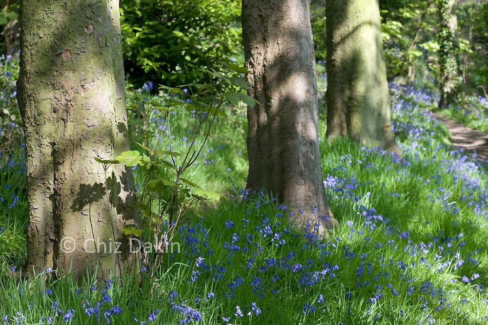 Sunlit flowering bluebells in Little Eaton woodland, Derbyshire