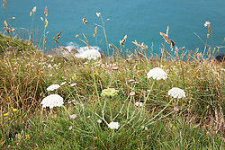 Wild Carrot - also called Queen Anne's Lace, Bishop's Lace - on the cliffs at The Lizard peninsula, Cornwall. Daucus carota