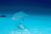 yellow-spotted trevally (jack), Carangoides orthogrammus, follows foraging goatfish to pick up scraps, Christmas Island ( Kiritimati ), Republic of Kiribati, northern Line Islands, equatorial Central Pacific Ocean
