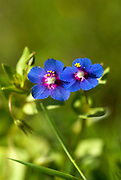 Blue Pimpernel flowers, Anagallis foemina, Andalusia, Andalucia, small, tiny, purple flower