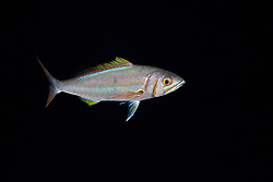 Forktail Snapper or Small Toothed Jobfish, Aphareus furca, night coloration, off Kona Coast, Big Island, Hawaii, Pacific Ocean