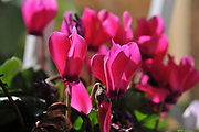 flowering Cultivated Persian Violets (Cyclamen persicum)