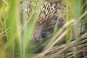 "Portrait of hedgehog (Erinaceus concolor) partly hidden in grases, nature park ""Dvietes paliene"", Latvia Ⓒ Davis Ulands | davisulands.com"