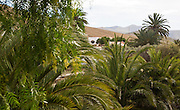 Green oasis vegetation in village of Betancuria, Fuerteventura, Canary Islands, Spain