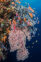Anthias and Damsels feed in the current along a colorful reef wall<br /> <br /> Shot in Indonesia