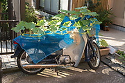 Honda Cub scooter used to help growing vegetables Yokosuka Japan