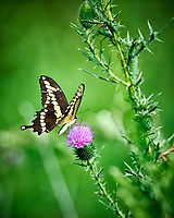 Giant Swallowtail Butterfly (Papilio cresphontes) with a torn wing on a Thistle Flower. Image taken with a Nikon D3 camera and 300 mm f/2.8 VR lens