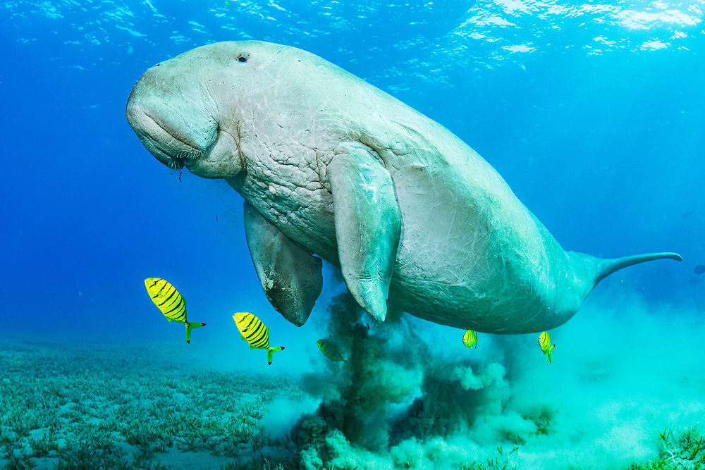 Dugongs (Dugong dugon), like this one in Egypt, are a species Vulnerable to Extinction and feed exclusively on seagrass. One of the largest threats to the species is declining seagrass habitats.