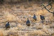 Scaled quail in desert habitat