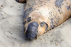 Noordelijke zeeolifant, Mirounga angustirostris