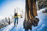Ben Duke passing a ancient limber pine while exploring the central Wasatch Mountains on skis, Utah.