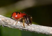 Close-up of a male Red crab spider (Synaema globosum) resting on a twig in rough scrub near the coast St Paul's Bay Malta