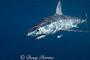 shortfin mako shark, Isurus oxyrhinchus, female with small patch of copepod parasites on flank, accompanied by pilot fish, Naucrates ductor, King Bank, North Island, New Zealand ( South Pacific Ocean )