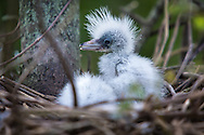 Baby blue herons at a rookery in Lake Boeuf.