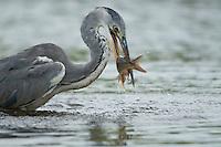 Grey Heron catching a fish (Ardea Cinerea), Fisher pond, Prypiat area, Belarus