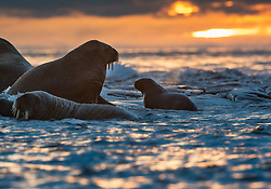 Walrus (Odobenus rosmarus) mother and small cub at sunset in late September at Kvitøya in Svalbard, Norway