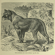 Maneless lion of Senegal From the book ' Royal Natural History ' Volume 1 Edited by  Richard Lydekker, Published in London by Frederick Warne & Co in 1893-1894