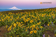 Spring wildflowers in full bloom on Dalles Mountain with Mount Hood in Columbia Hills State Park near Lyle, Washington, USA
