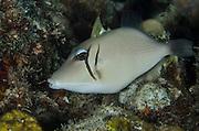 Scythe Triggerfish (Sufflamen bursa)<br /> Cenderawasih Bay<br /> West Papua<br /> Indonesia