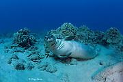 Hawaiian monk seal ( Neomonachus schauinslandi ) yearling female ( critically endangered species ) on coral reef at Mahukona, Kohala, Hawaii Island ( the Big Island ) Hawaiian Islands ( Central Pacific Ocean )