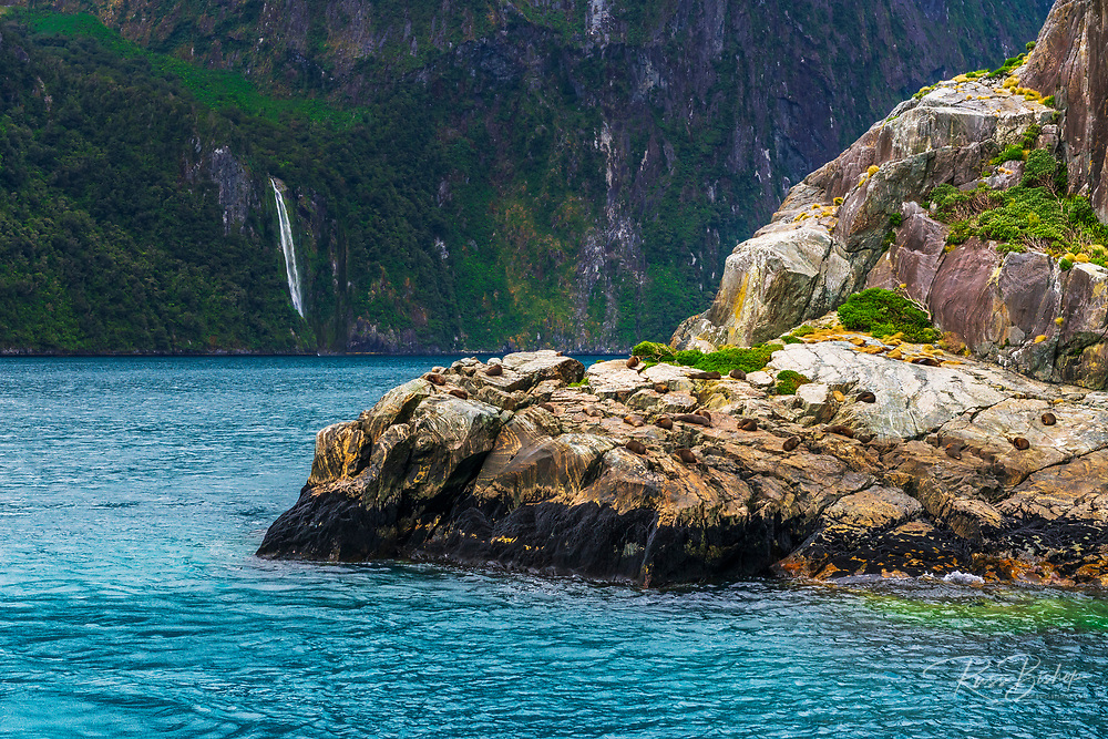 Southern fur seals, Milford Sound, Fiordland National Park, South Island, New Zealand