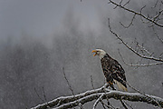Bald Eagle (Haliaeetus leucocephalus) crying out in a snow storm