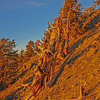 The sun sets over the the Ancient Bristlecone Pine Forest in California's rugged White Mountains.