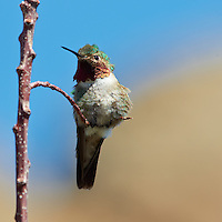 Male Broad-tailed Humming Bird at Lilly Lake in Rocky Mountain National Park. Image taken with a Nikon D3 and 70-200 mm f/2.8 VR lens + TC-E II 20 teleconverter (ISO 400, 400 mm, f/11, 1/400 sec).  Raw image processed with Capture One Pro, Focus Magic, and Photoshop CS5.