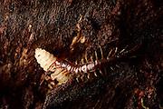 A stone-runner (Lithobius spec.) eats the beetle larvae of the Pinchbuck (Rhagium sycophanta) in the deadwood of an oak. Kiel, Gemany | Ein Steinläufer (Lithobius spec.) frisst die Käferlarve des Eichenzangenbock (Rhagium sycophanta) im Totholz einer Eiche.