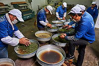 Chine, Province du Sichuan, Mingshan, usine de thé // China, Sichuan province, Mingshan, tea factory