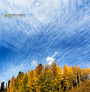 Cirrocumulus clouds over autumn aspen grove at Lizard Head Pass near Telluride, Colorado, USA