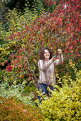 Taking hardwood cuttings from a philadelphus. Gathering suitable material.