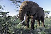 African Elephant <br /> Loxodonta africana<br /> A large bull feeding<br /> Ngorongoro Conservation Area, Tanzania