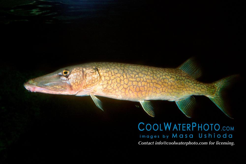 chain pickerel (c), Esox niger, Florida (Freshwater)
