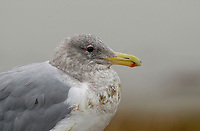 Glaucous-winged Gull (Larus glaucescens), Goose Spit, Comox, Vancouver Island, Canada Photo: Peter Llewellyn