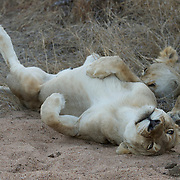 African lions sleeping. Timbavati Private Nature Reserve. South Africa.