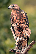 The endemic Galapagos Hawk (Buteo galapagoensis) from the island of Santiago.