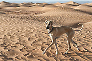 A Sloughi (Arabian greyhound) walks in the desert sand dunes in Morocco.