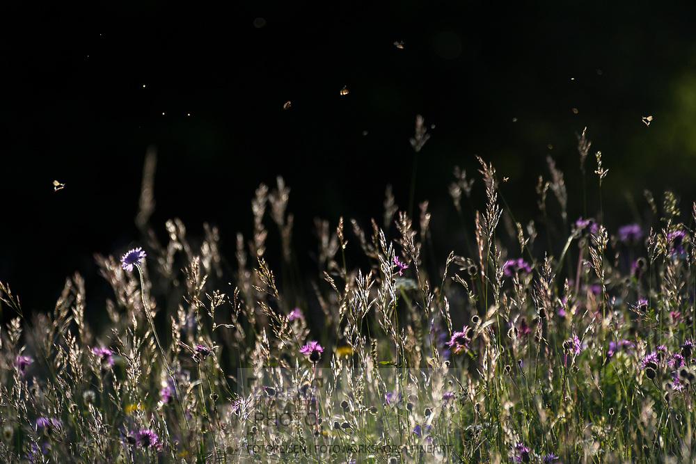 Insekten und Fliegen über einer artenreichen Mähwiese mit u.a. Wald-Witwenblume (Knautia dipsacifolia) und Skabiosen-Flockenblume (Centaurea scabiosa), ... Tiefencastel, Parc Ela, Graubünden, Schweiz<br /> <br /> Insects and flies over a species-rich lawn with among other things forest widow flower (Knautia dipsacifolia) and greater knapweed (Centaurea scabiosa), ..., Tiefencastel, Parc Ela, Graubünden, Switzerland