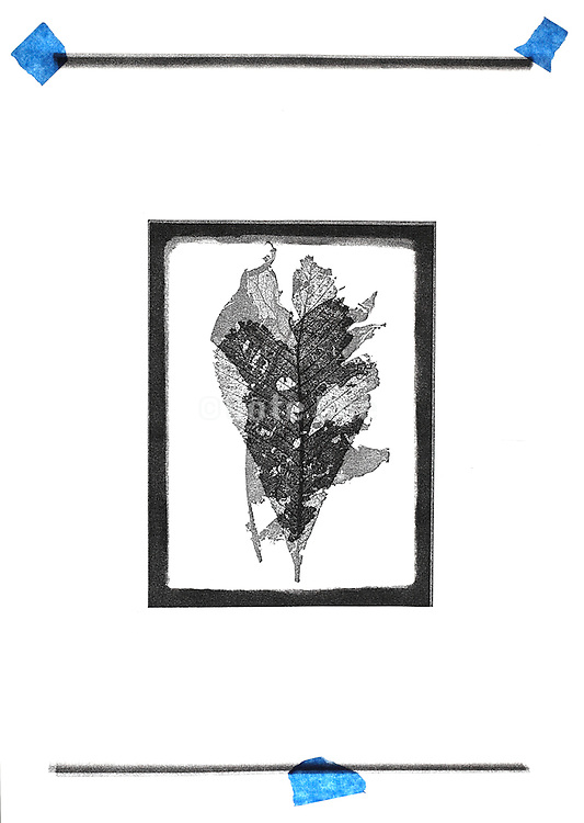 two leaf imprints in the form of a double exposure