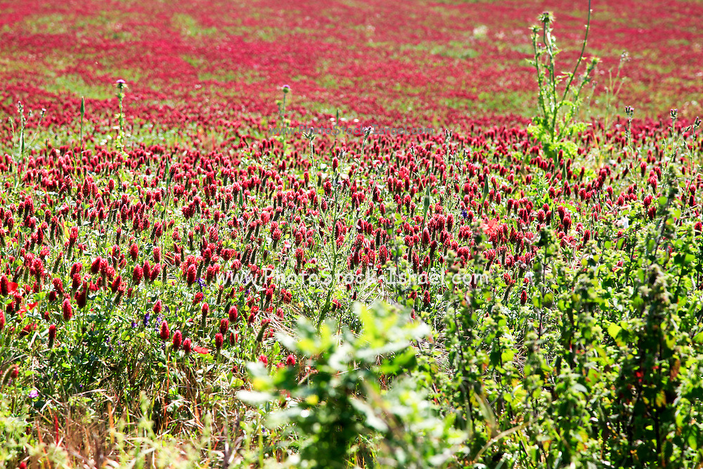 A field of common sainfoin (Onobrychis viciifolia) Photographed in Tuscany, Italy