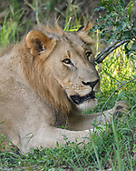 Two-year old male lion rests in shade at the edge of a forest, portrait, Phinda Game Reserve, South Africa, © David A. Ponton