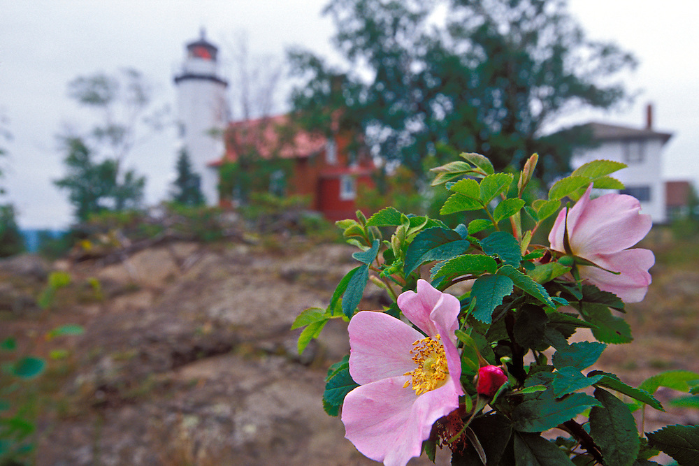 Wild roses bloom on the grounds of the Eagle Harbor Lighthouse in Eagle Harbor Michigan on Lake Superior in the Keweenaw Peninsula.