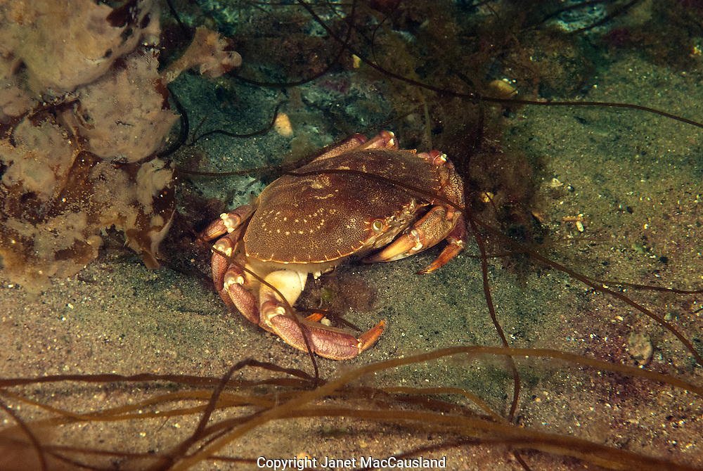 """The Rock Crab carapace grows to about  5""""wide side to side by 3.5"""" deep. The front pincher claws are much more delicate than the Johah Crab also seen in it's territory. They are edible and good."""