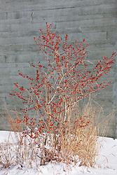 Holly berries in snow, Trinity River Audubon Center, Dallas, Texas, USA.