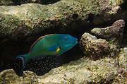 Redtail Parrotfish (Sparisoma chrysopterum)<br /> BONAIRE, Netherlands Antilles, Caribbean<br /> HABITAT & DISTRIBUTION: Shallow areas of coral rubble and sea grass.<br /> South Florida, Bahamas, Caribbean & Bermuda.